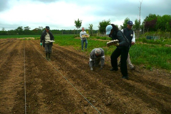Les Jardiniers Solidaires : plants de pommes de terre